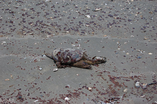Whiskey-Is-Beach-dead-turtle-051210